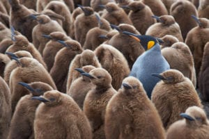 blue bird standing out in crowd of brown birds